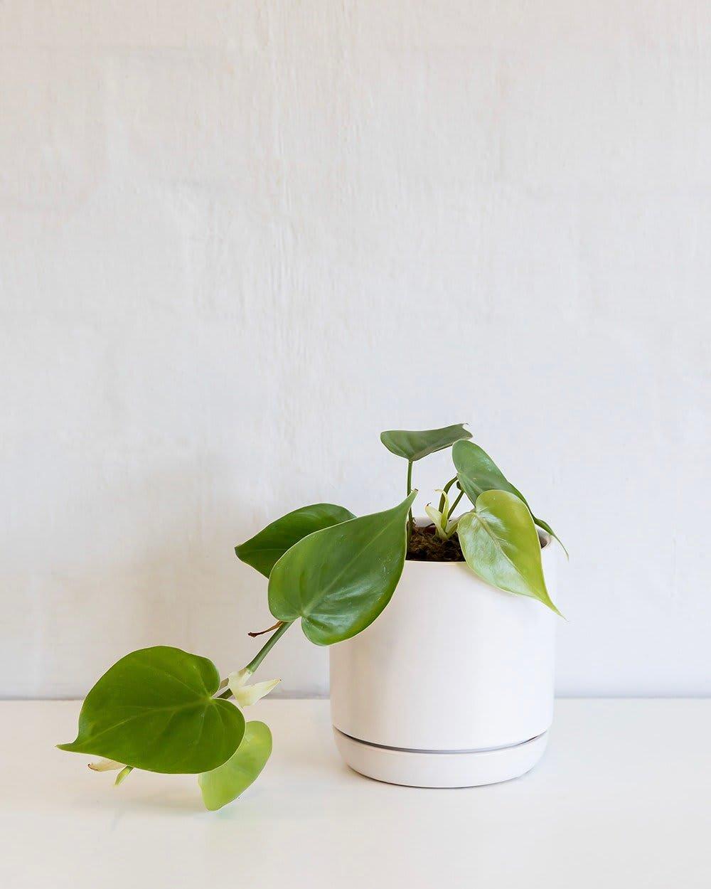 Philodendron Cordatatun