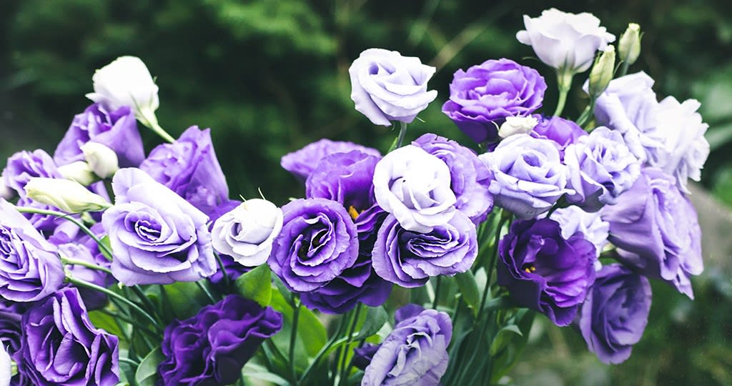 violet lisianthus