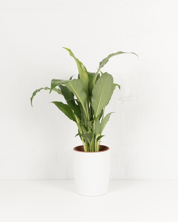 Peace Lily 120mm - Product