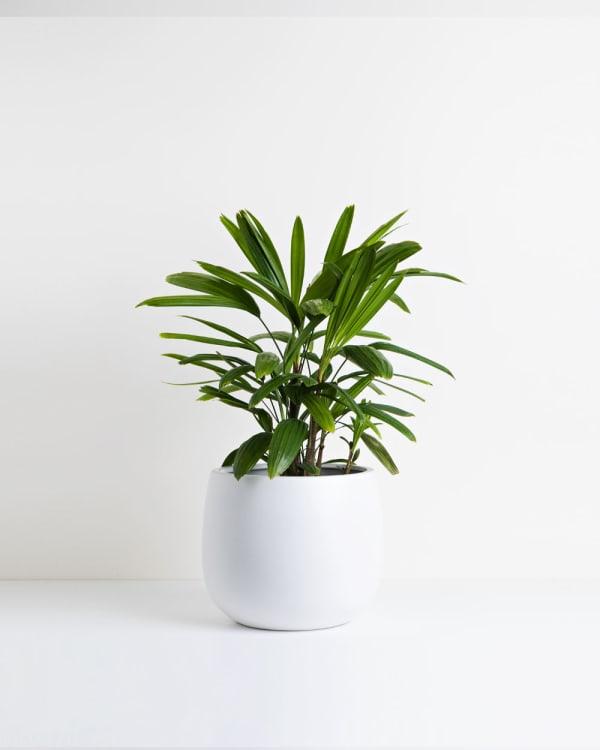 Rhapis Palm