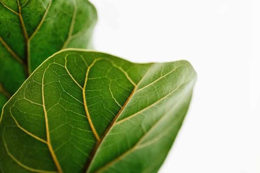 Fiddle Leaf Ficus Leaf