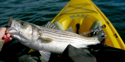 Striperbass