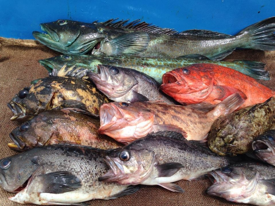 Riptide Charters: Rockfish  Charter
