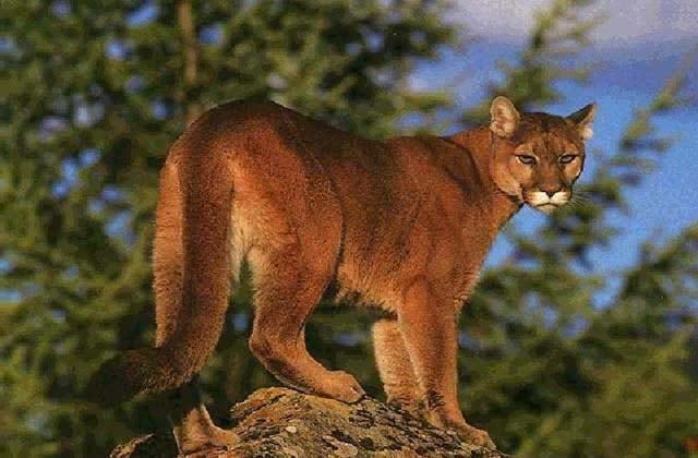 Pack N Horns: Mountain Lion Hunt