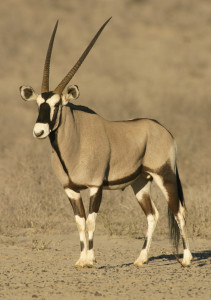 Jag Ranch: GEMSBOK HUNTS