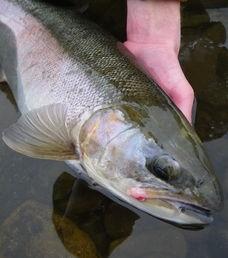 The Douglaston Salmon Run: Fall 3 Afternoon F-Sunday