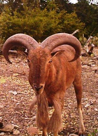 Escondido Ranch: EXOTIC TROPHY AOUDAD HUNT