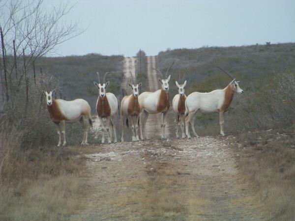 Wb Stagecoach Ranch: Blackbuck Antelope Hunts