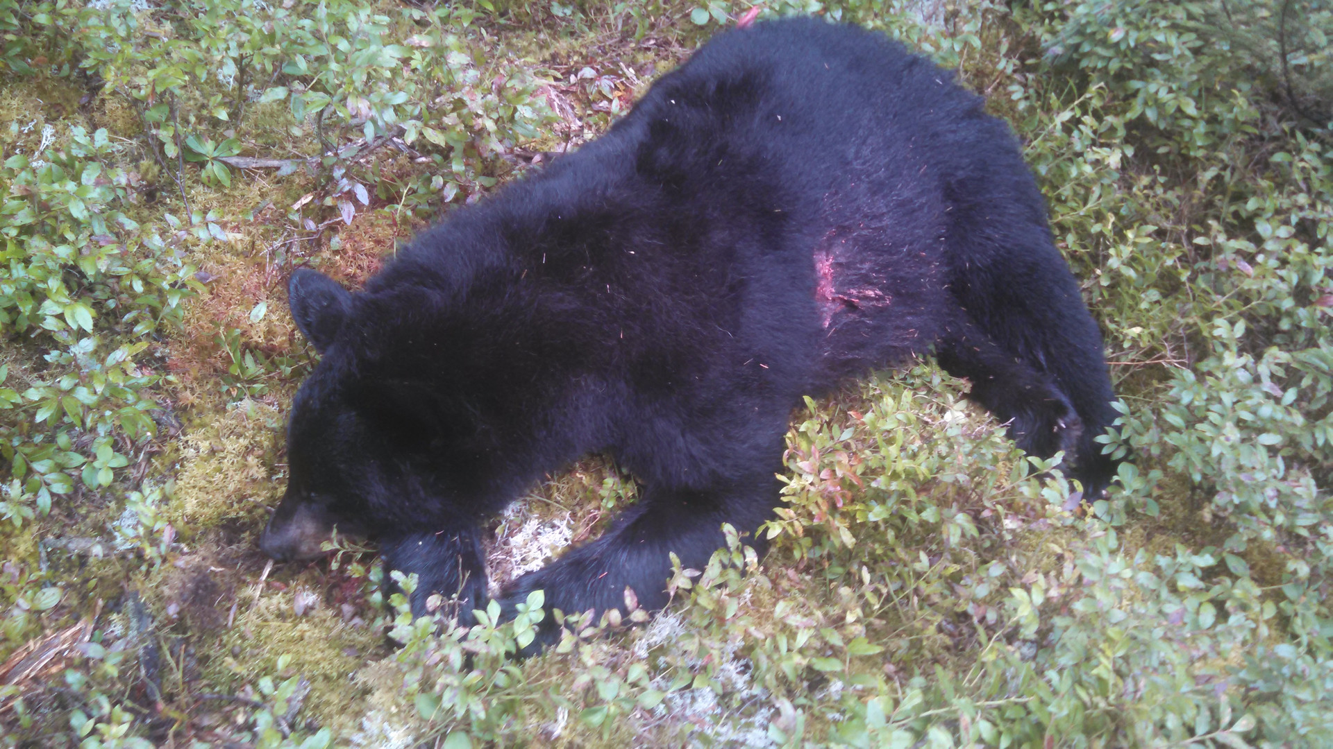 Fur And Fly Outfitters: BEAR HUNTING OVER BAIT