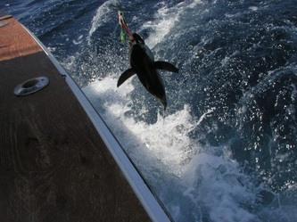 Hot Tuna Charters: Inshore Trolling