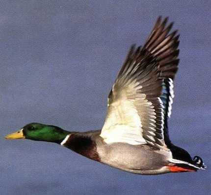 M&M Hunting Preserve & Sporting Clays: Mallard Duck Hunt