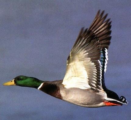 M&M Hunting Preserve & Sporting Clays: Mallard Duck Hunt