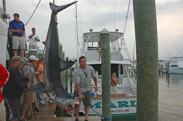 Marli: OC MD Inshore Shark