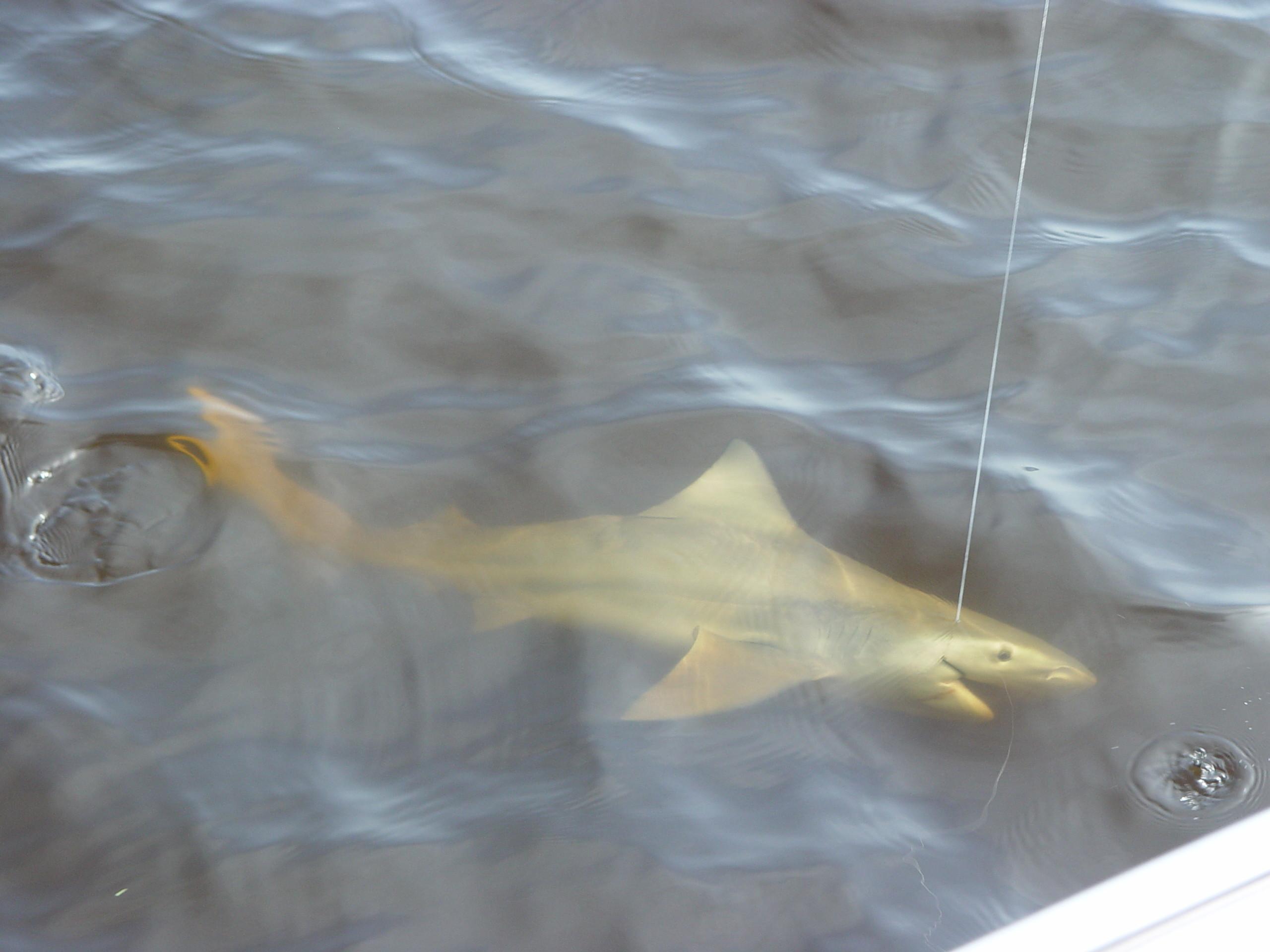 Smokin Reels Llc: Tarpon  / Shark Trips