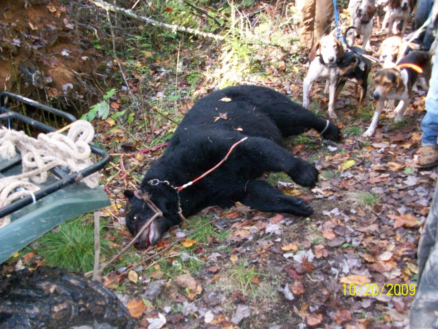 Fur And Fly Outfitters: BEAR HUNTING WITH HOUNDS