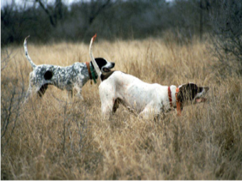 Sandy Oaks Ranch: QUAIL HUNTS @ SANDY OAKS RANCH
