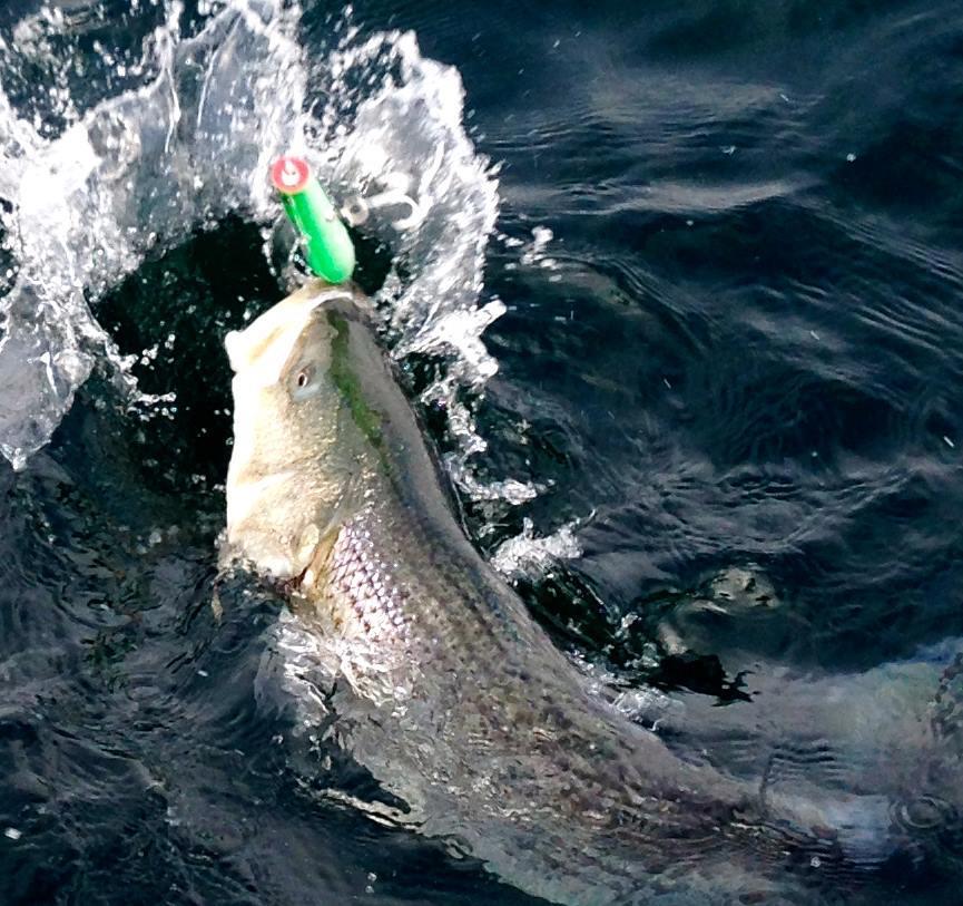 Northeast Sportfishing: Striped Bass & Bluefish