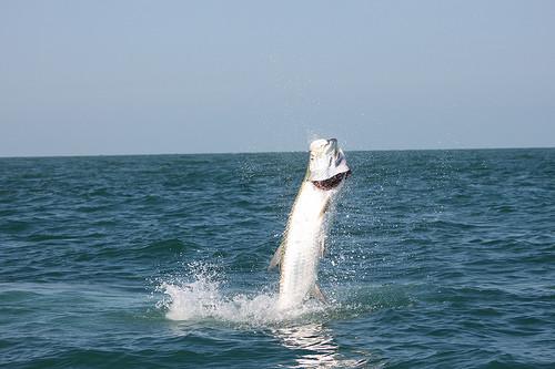 Hotfish Charters: Tarpon Trip Boca  Grande