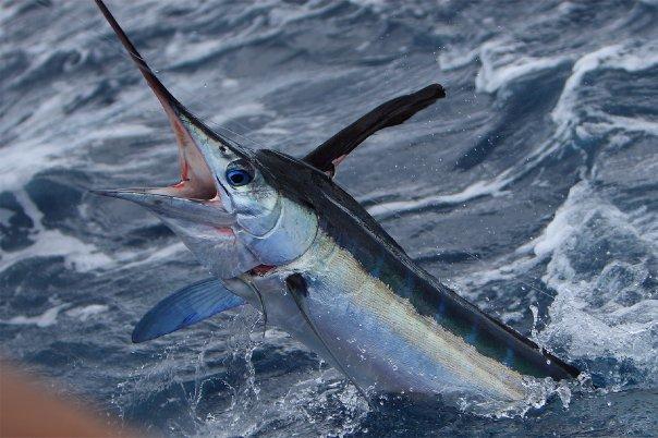 Swordfish Sportfishing: Full Day Trip