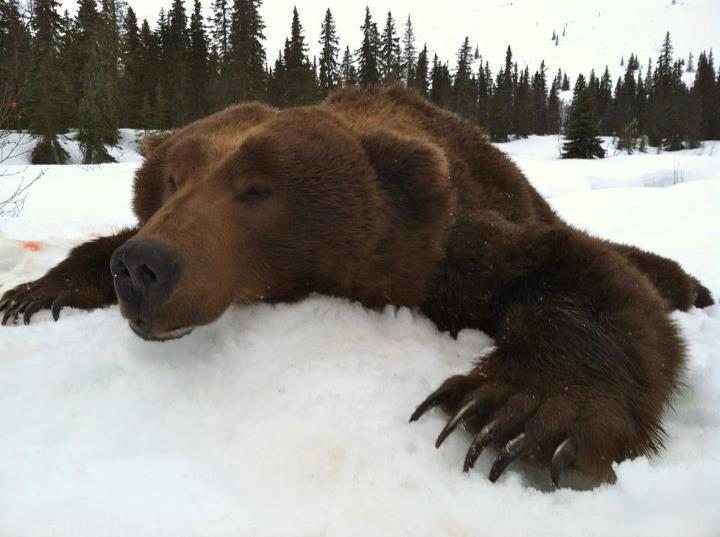 Nushagak Guides And Outfitters: Brown Bear Hunts