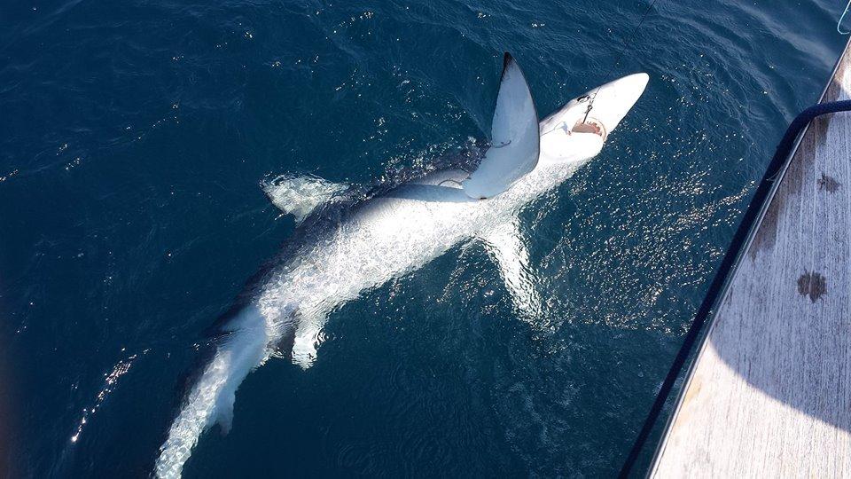 Tranquila: Thresher Shark/Sea Bass (May-June)