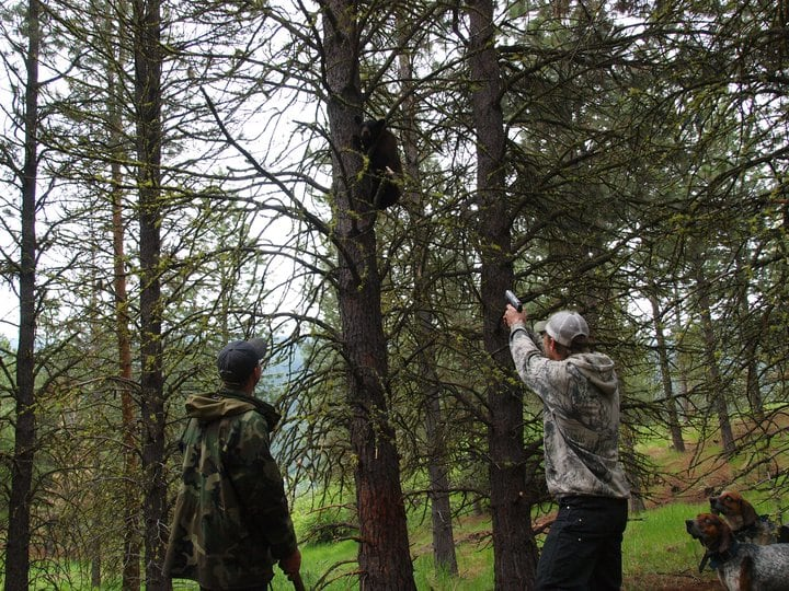 Youren Outfitters: 5 Day Bear Hunt with Hounds