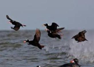 Ocean City Guide Service: Sea Duck Hunting Trip