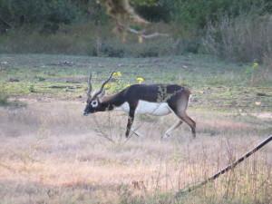 Jag Ranch: BLACKBUCK ANTELOPE HUNTS