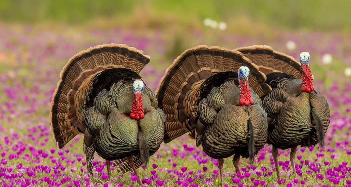 Los Encinos Ranch: Spring Turkey Hunts (2 gobblers)