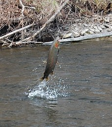 The Douglaston Salmon Run: Fall 3 Full Day F-Sunday