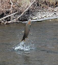 The Douglaston Salmon Run: Fall 3 Full Day F-Sunday