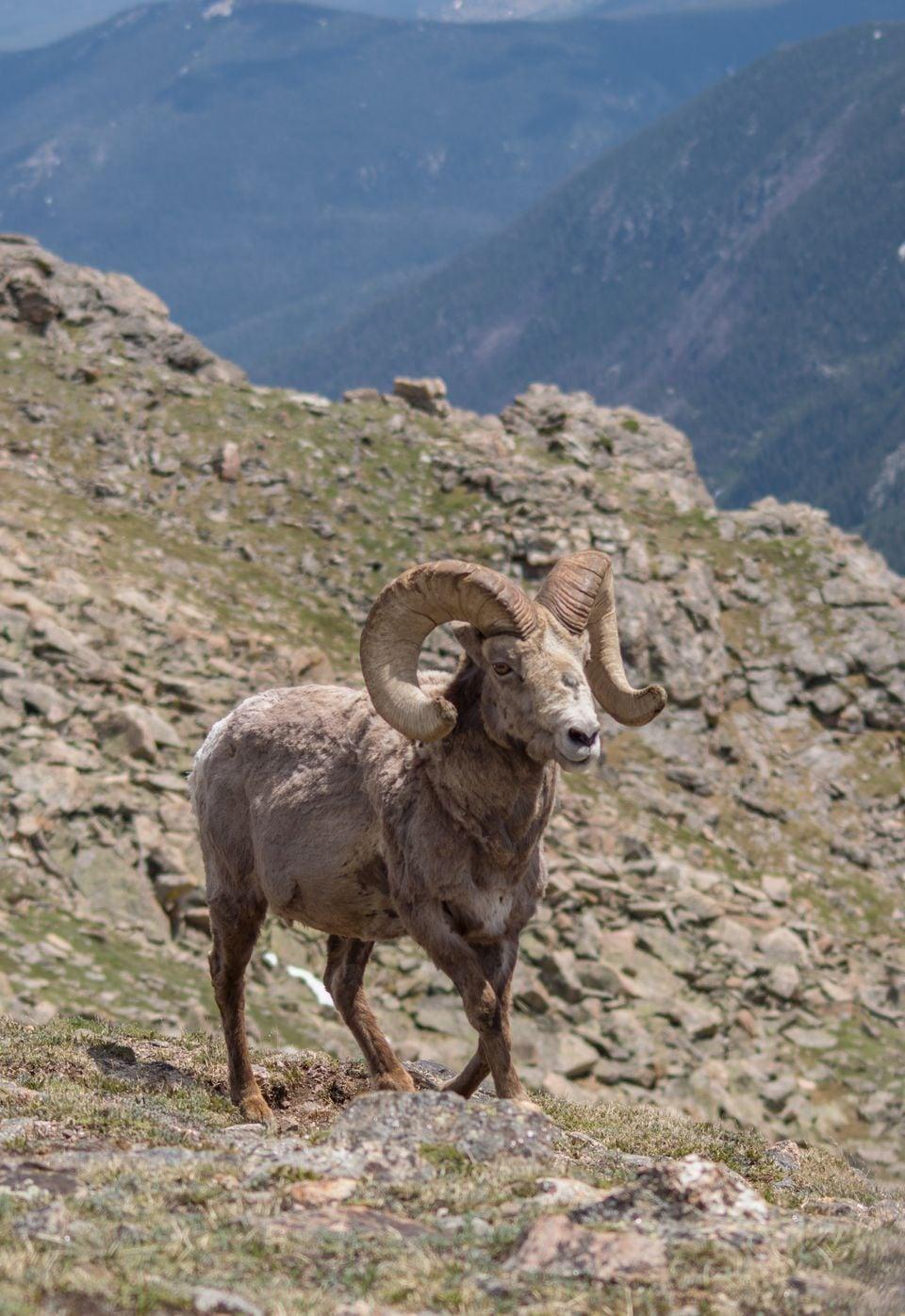 Secret Pass Outfitters: Big Horn Sheep Hunt