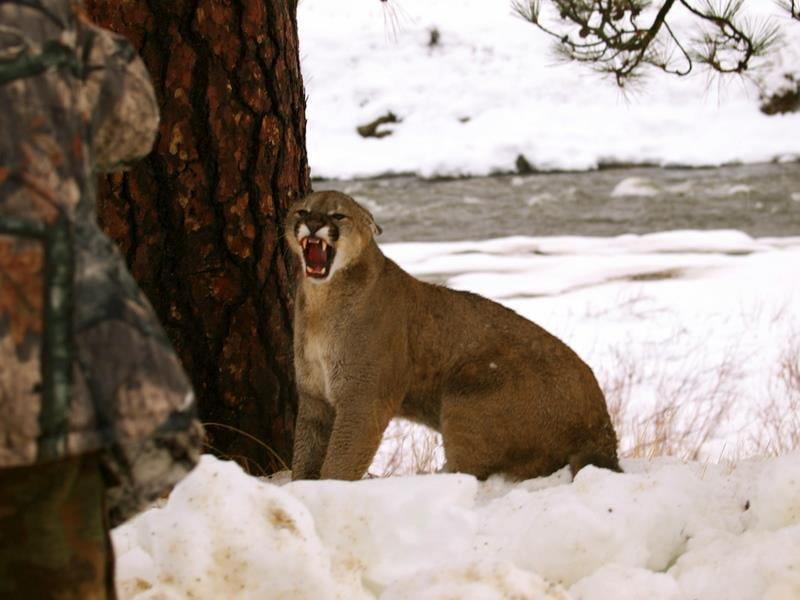 Youren Outfitters: 6 Day Cougar Hunt