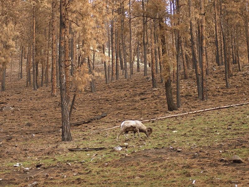 Shepp Ranch Outfitters: Rocky Mountain Bighorn Sheep Hunts