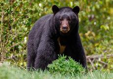 Juniper Mountain Outfitters: Bear Hunts