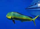 Mahi-Mahi (Dorado, Dolphinfish)