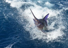 Blue Marlin