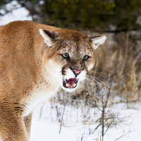 Mountain Lion/Cougar/Puma