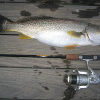 Sea Trout (Weakfish)