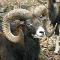 Black Hawaiian Sheep
