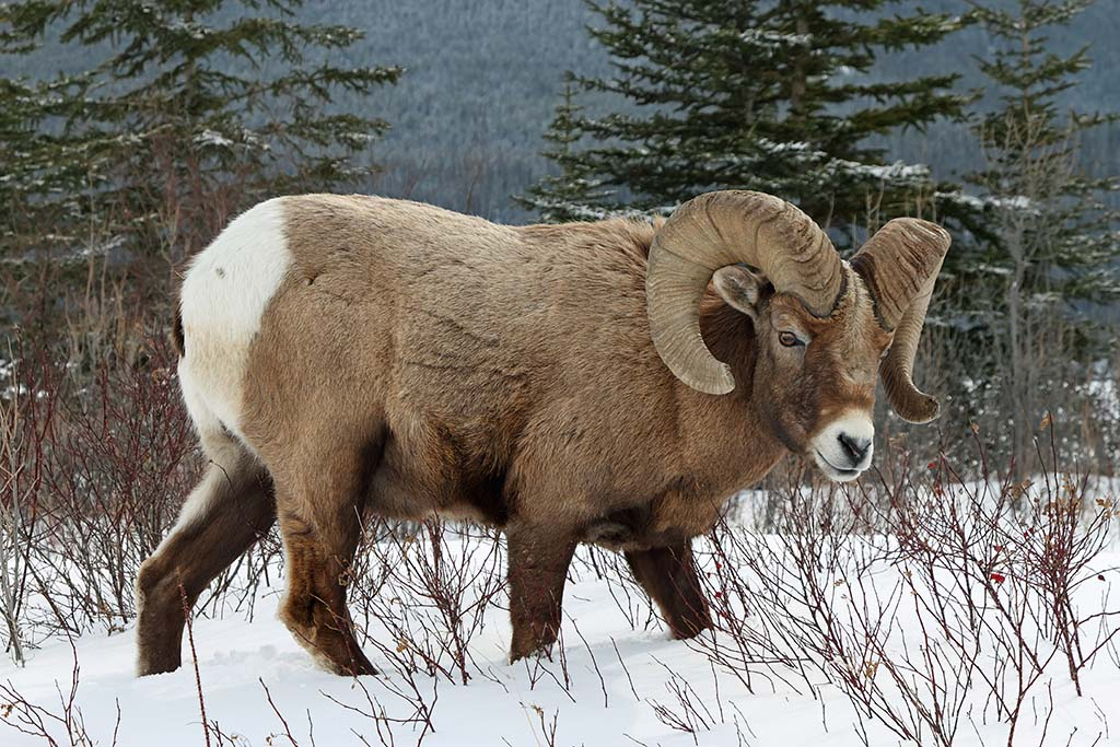 Wild Sheep (Bighorn Sheep)