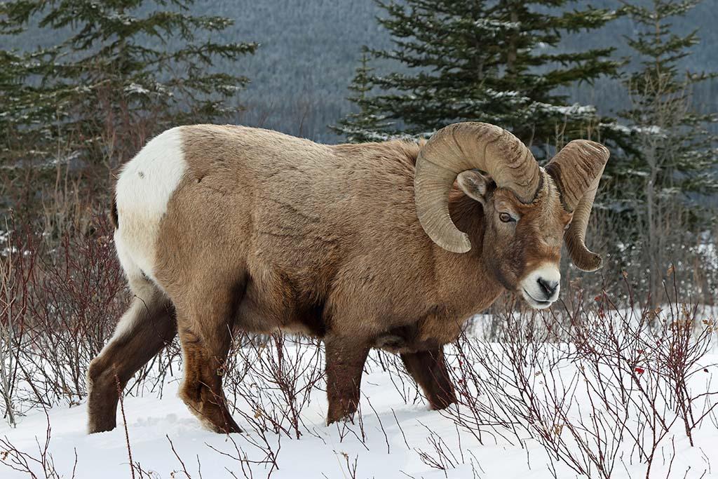 Wild Sheep (Bighorn Sheep)