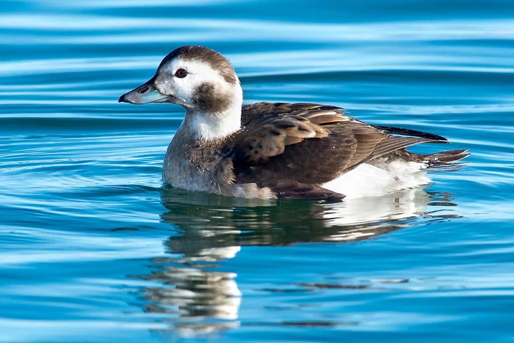 Sea Duck
