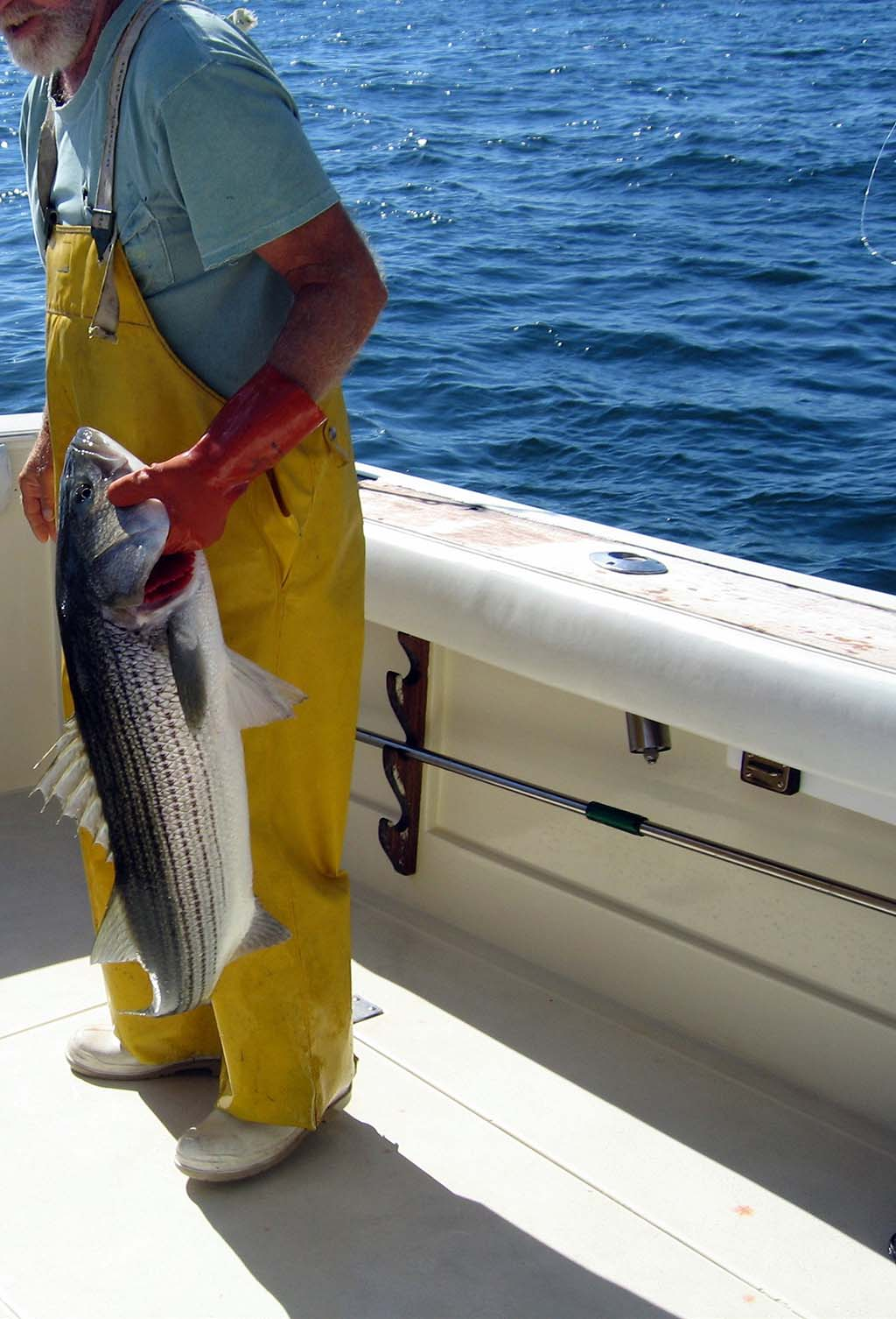 Striped Bass (Rockfish)