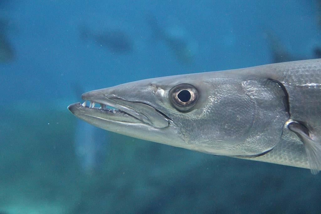 King Mackerel (Kingfish)