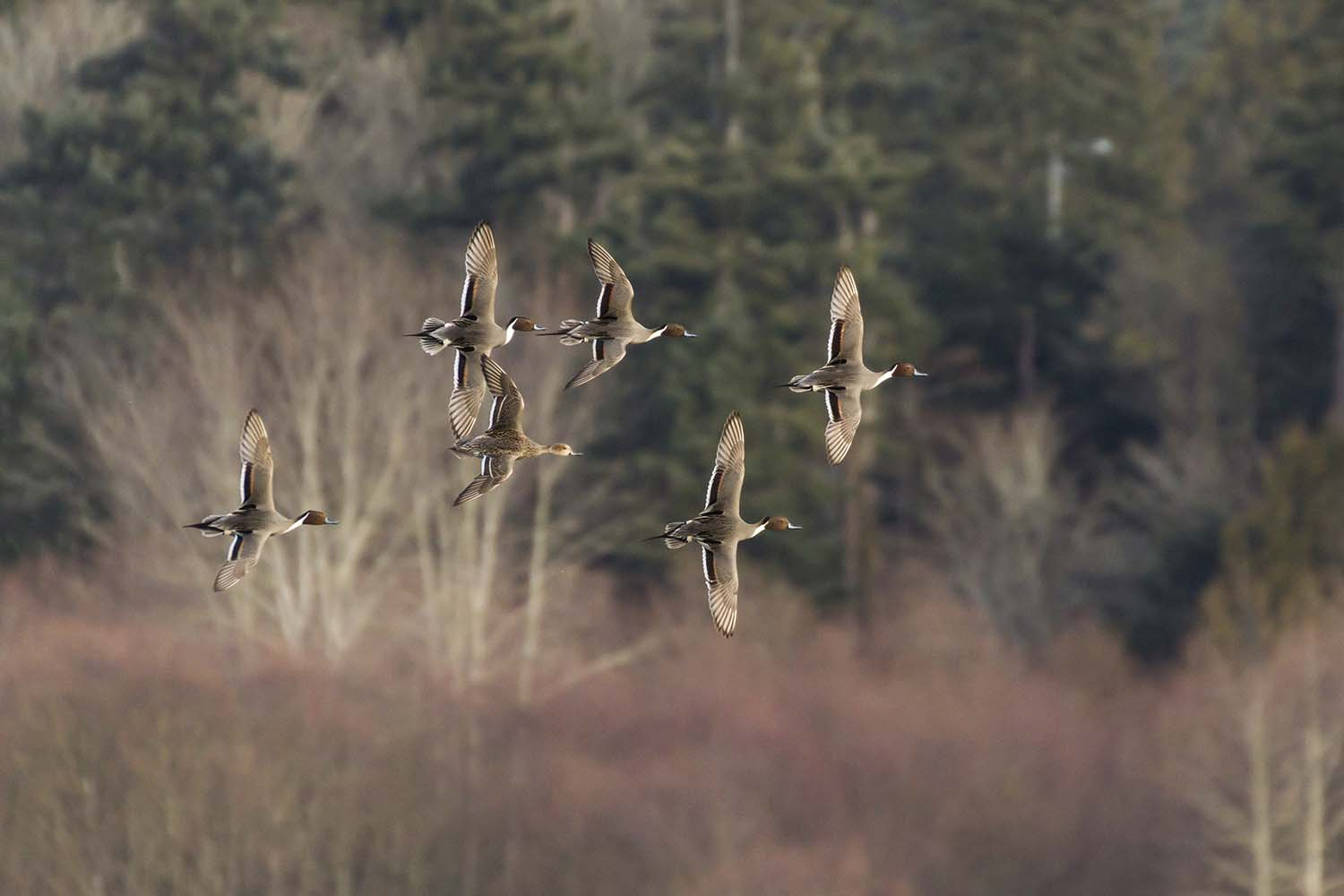 Tim Muldoon Guide Service: Back Country Duck Hunt