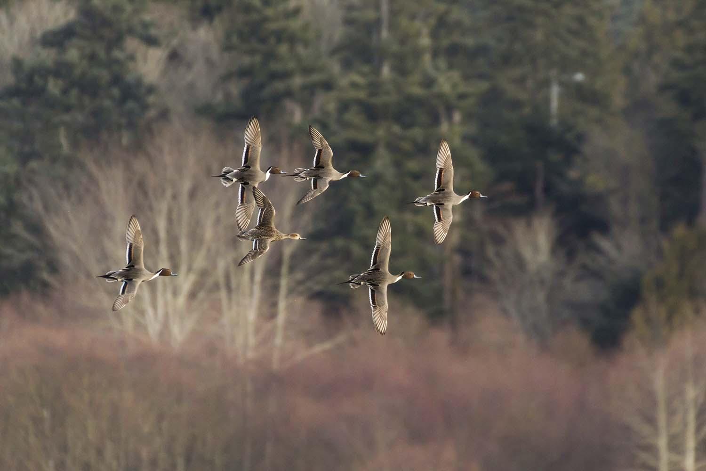 Wer On Um Guide Service: Goose Hunt
