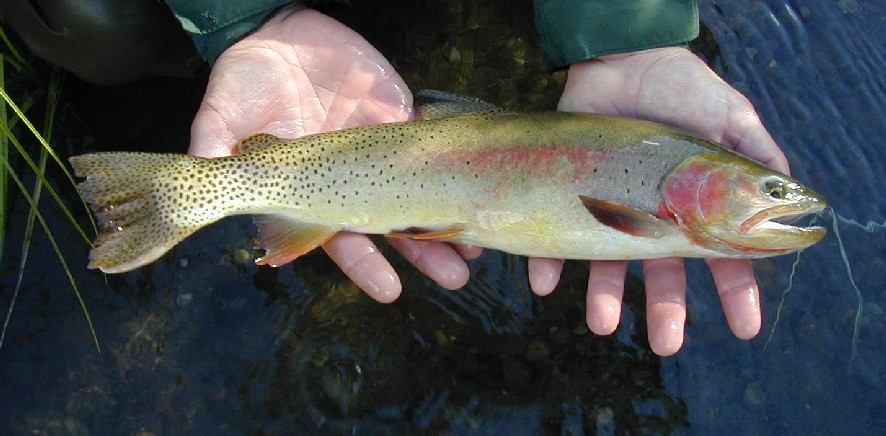Yellowstone Cutthroat