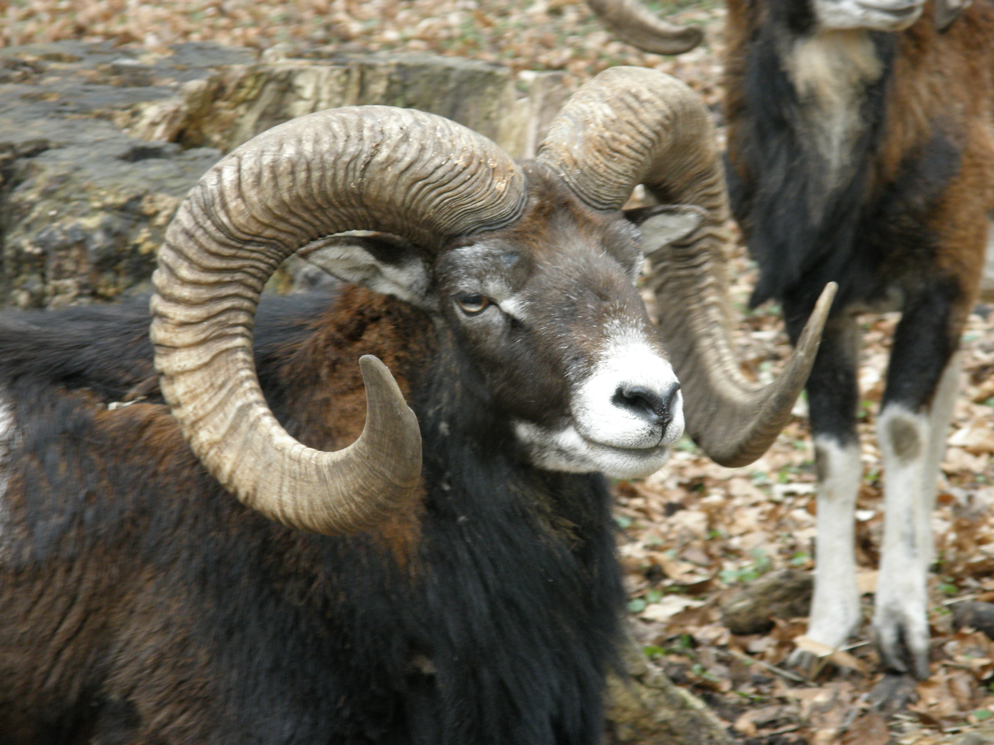 Black Hawaiian Sheep