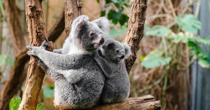 Koronaepidemian keskellä myös hyviä uutisia - koalat palaavat metsiin